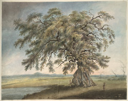 A vast and solitary cotton tree in a landscape near Moradabad